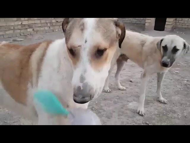 dogs need to be brushed sometimes. this will remove remaining of old hairs